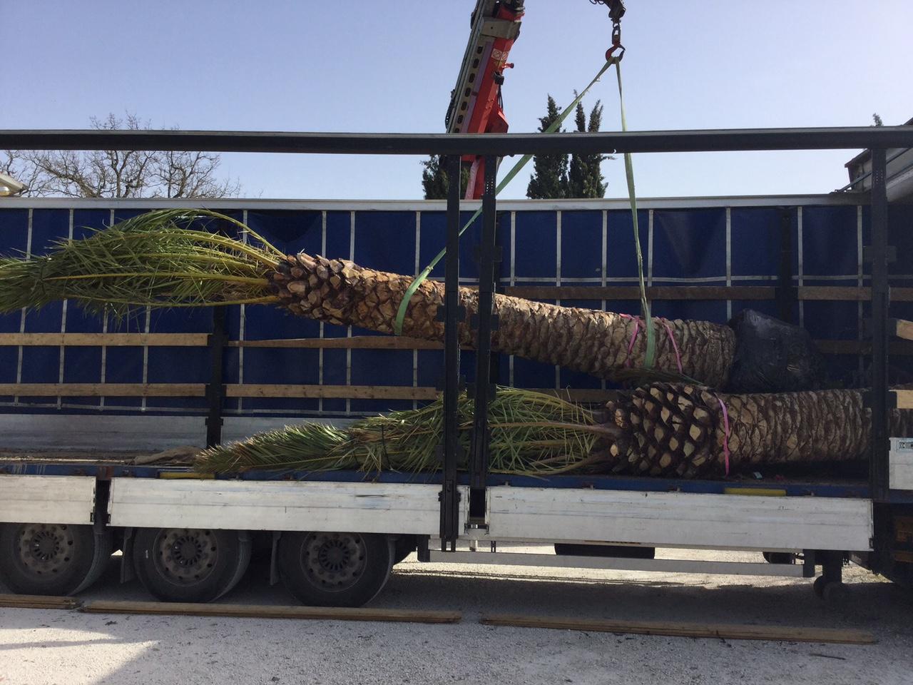 Tutoraggio palma su giardino